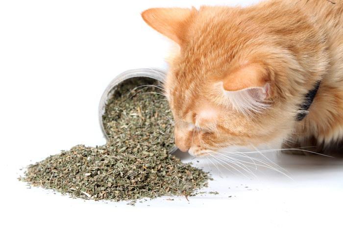 乾燥したキャットニップの匂いを嗅ぐ猫