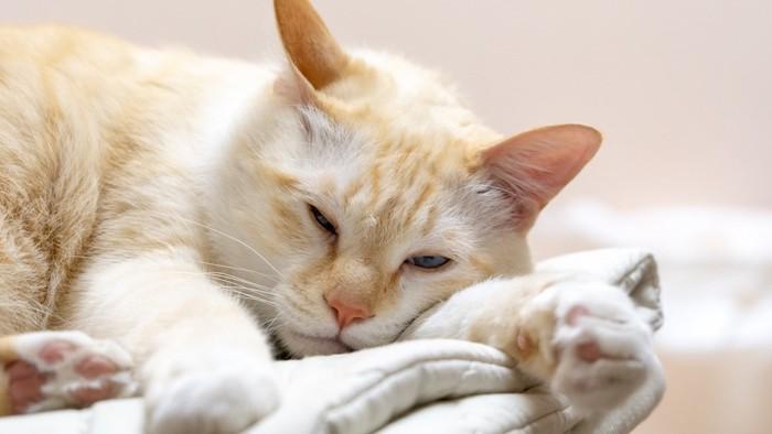 布団の上で横になっている猫