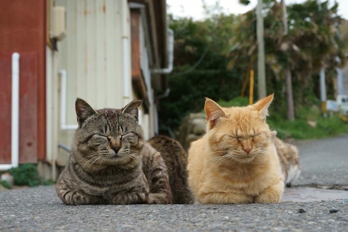 並んでくつろぐキジトラと茶トラ