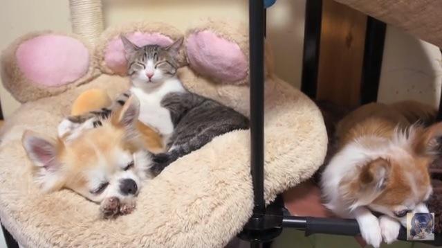 眠る猫とチワワ