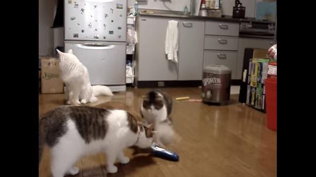 シェーバーにじゃれつく猫と匂いを嗅ぐ猫