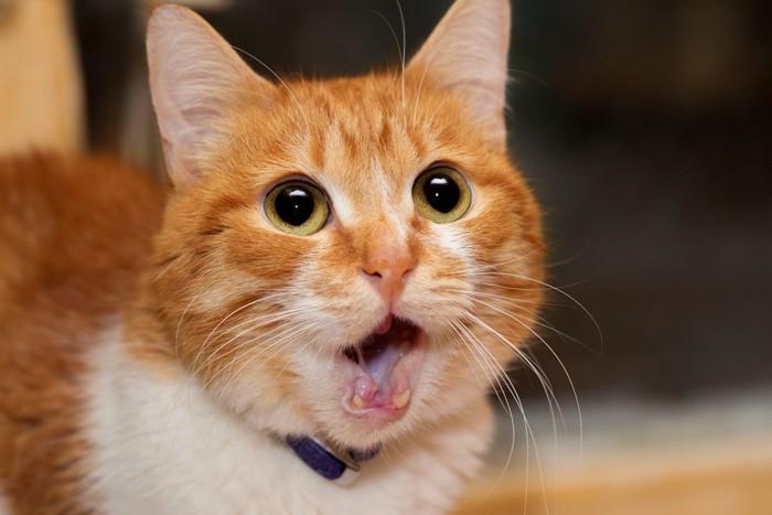 口を開けている茶色の猫