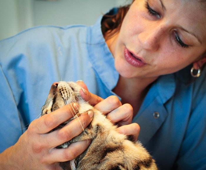 女医に顎を見てもらっている猫