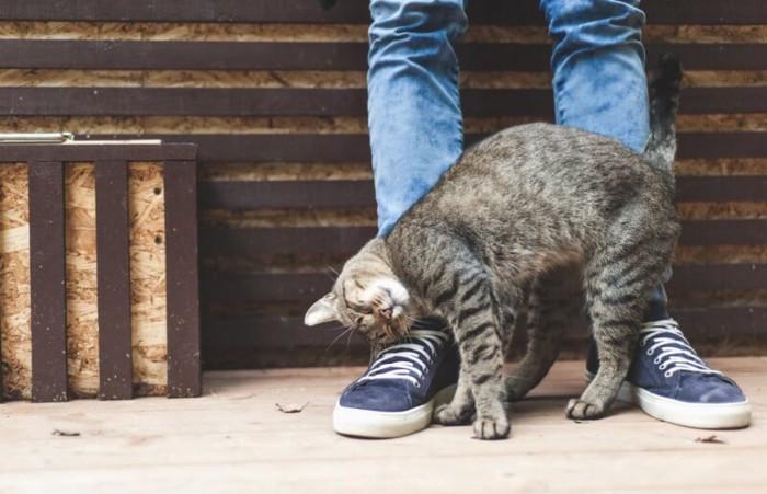 人の足にじゃれつく成猫