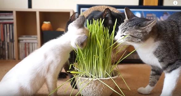 皆で一つの草を食べる猫達