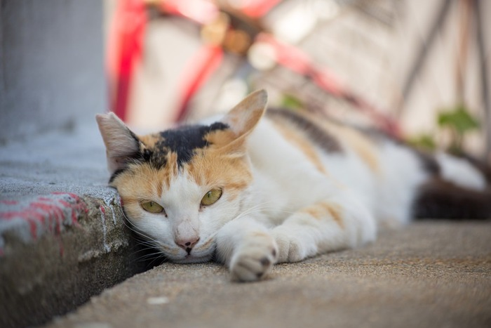 猫島にいる三毛猫