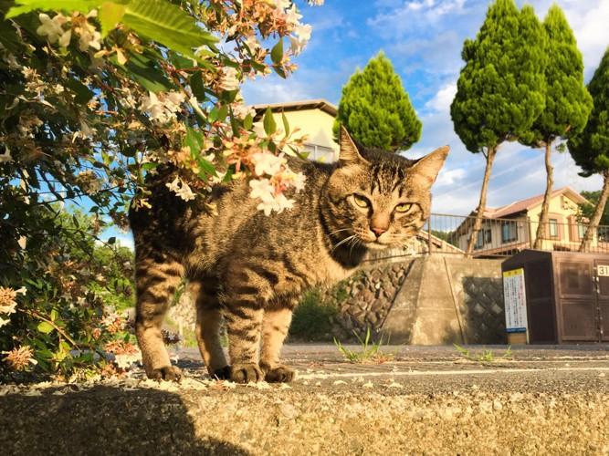 散歩するキジトラ