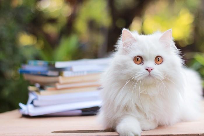 積まれた本と白いペルシャ猫