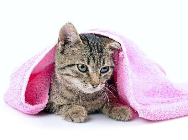 ピンクのタオルと猫
