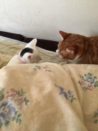 向き合う先住猫と子猫