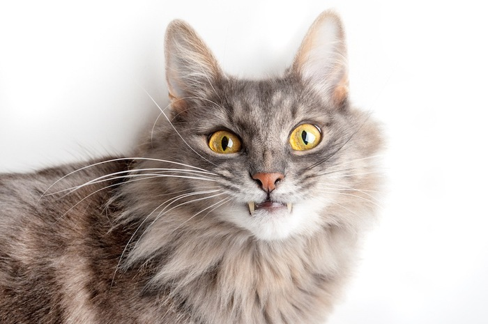 二本の牙が出ている長毛猫