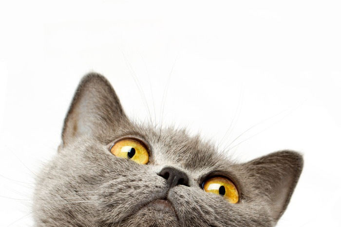 グレーの猫 アップ