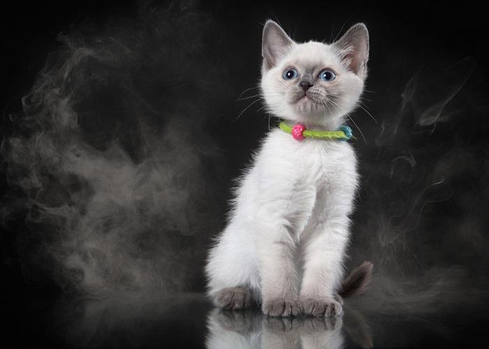 ブルーポイントの子猫