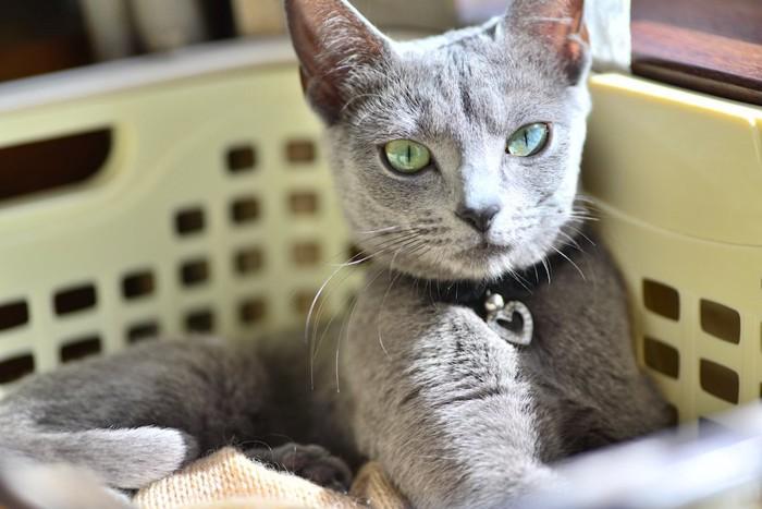 洗濯物の籠に入っている猫