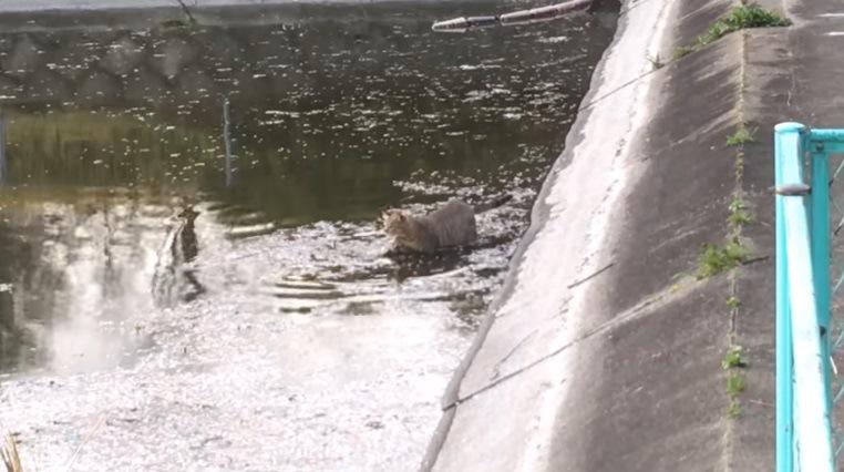 水の中を進む猫