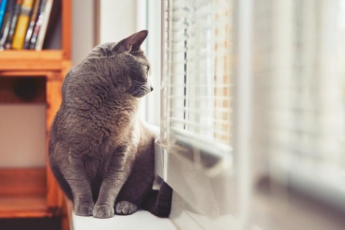 窓から外を見るロシアンブルー