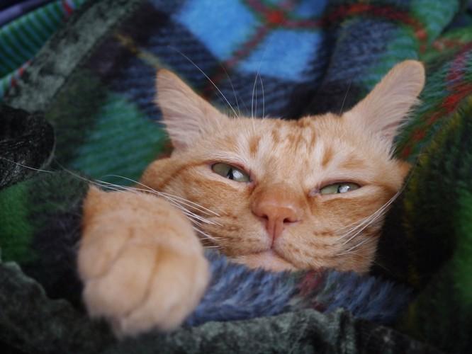 毛布に包まれてくつろぐ猫