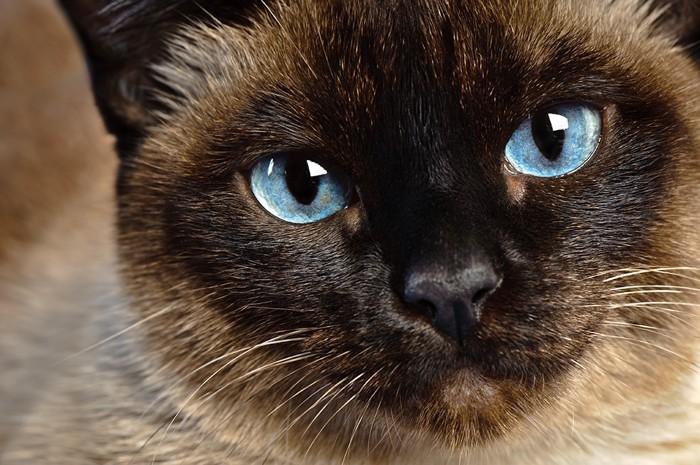 シャム猫の顔