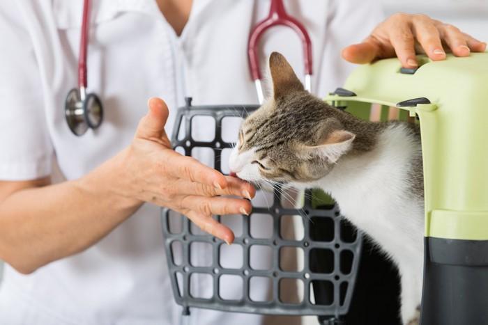 ケージから顔を出して看護師の手を舐める猫