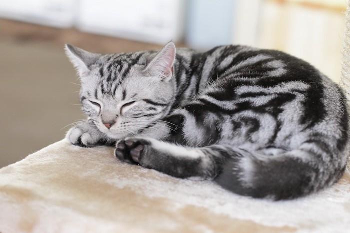 キャットタワーで眠る可愛すぎるアメショの子猫