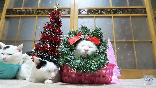 クリスマスリースに顔を入れる猫
