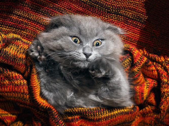 ブランケットに包まれて嫌がる猫