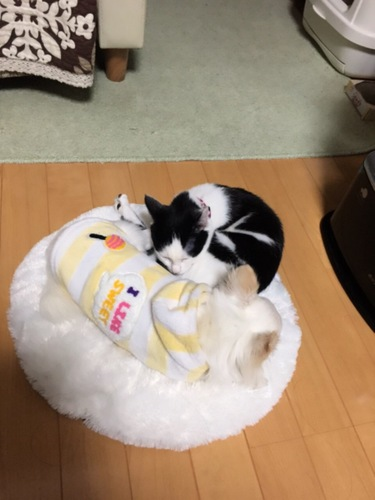チワワと一緒に寝る猫