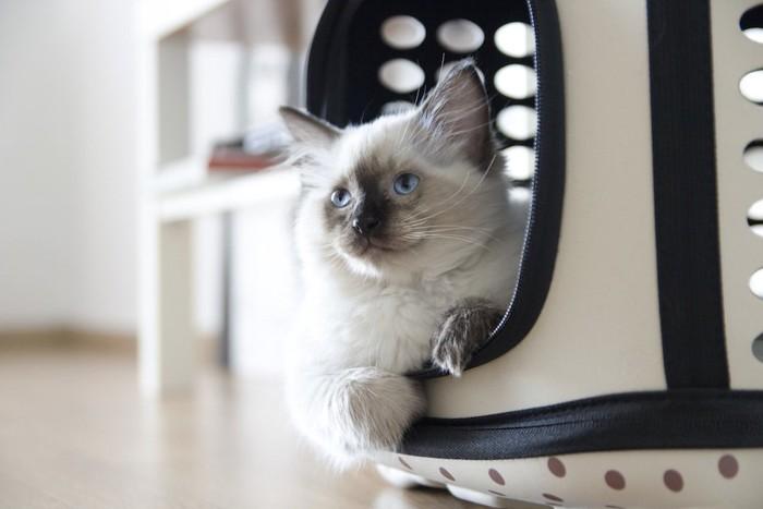 キャリーバッグから顔をのぞかせるラグドールの子猫