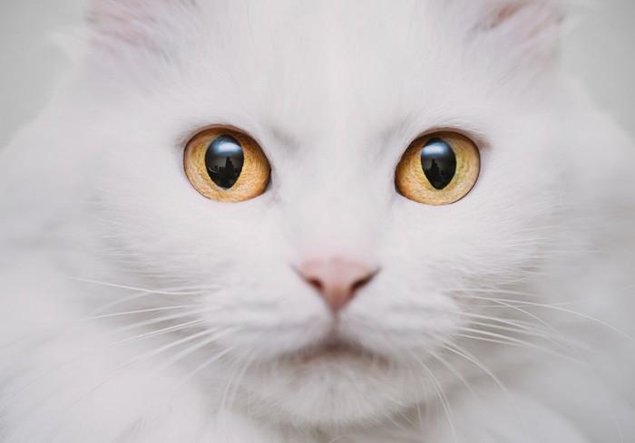 神秘的な目の白猫