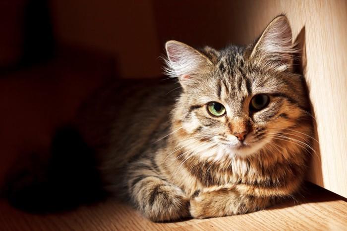 流し眼の猫