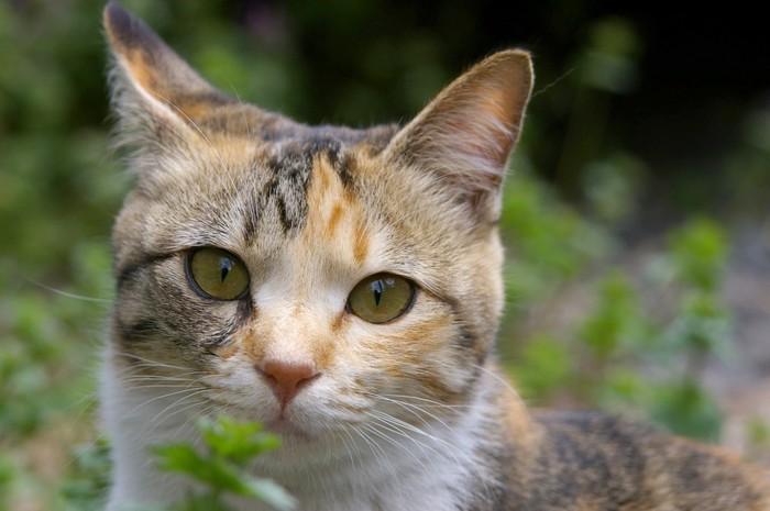顔が細い猫