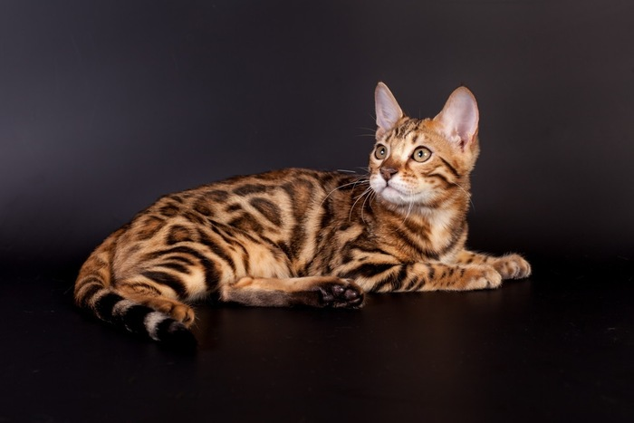 黒い背景に横たわるベンガル猫