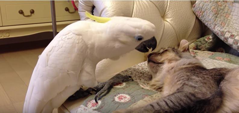 猫の鼻を食べようとするオウム