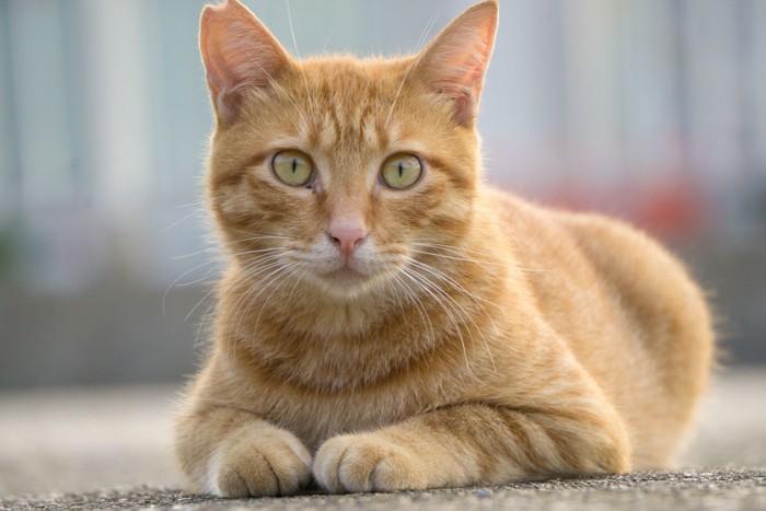 サクラ耳の猫