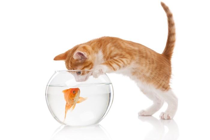 金魚鉢に顔をつけようとする猫