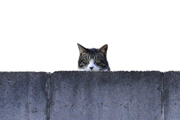 塀から覗く猫