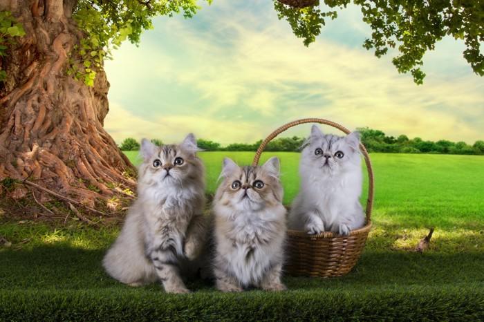 3匹のペルシャ猫