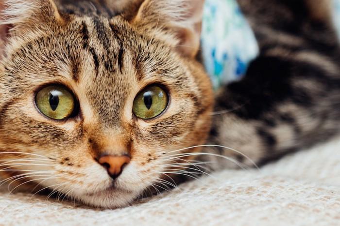 術後服を着た猫の顔アップ