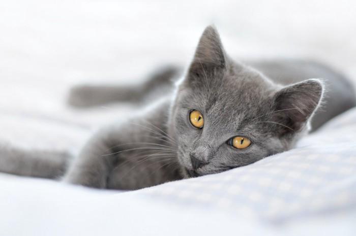 ベッドの上でくつろぐブルーの子猫
