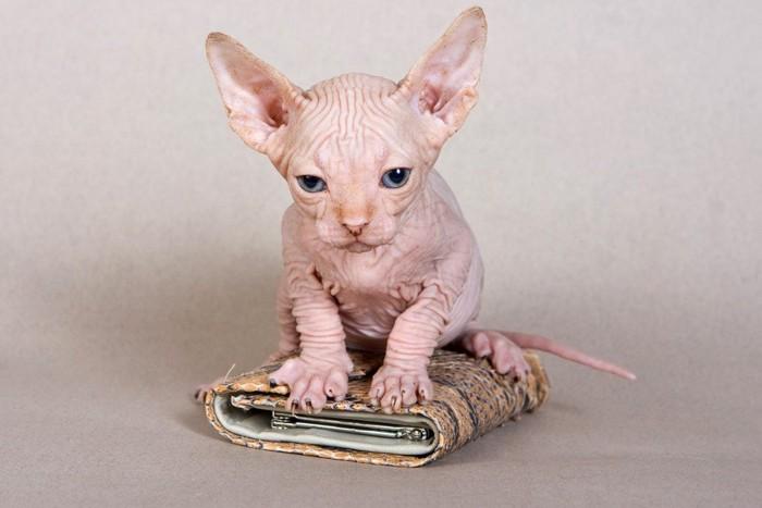 小銭入れの上の子猫