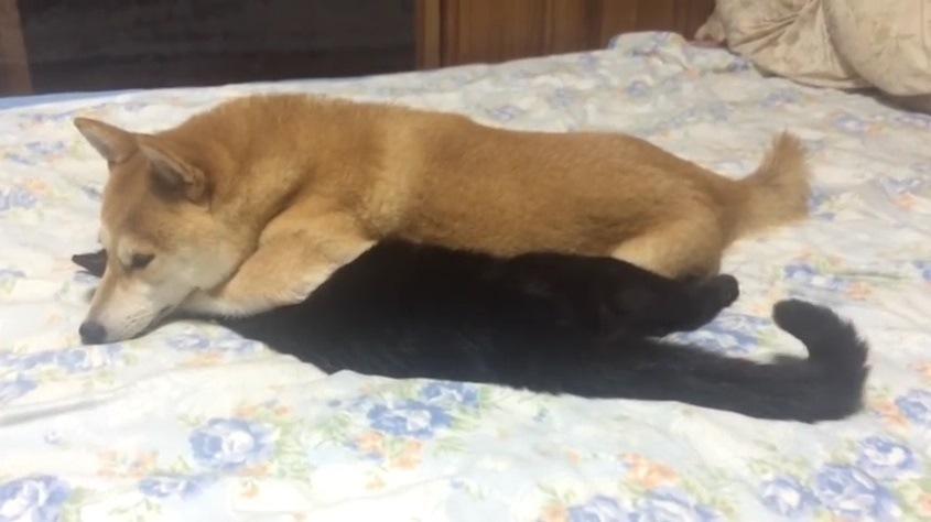 猫を下敷きにして眠る犬