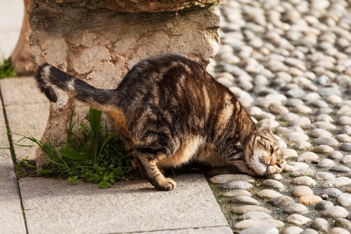 地面に顔をこすりつける猫
