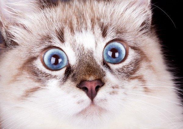 驚いた顔で青い目の猫の写真