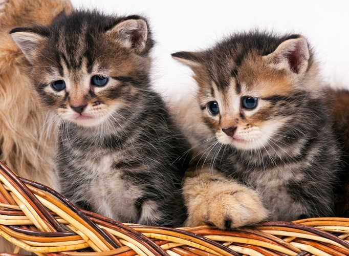 サイベリアン子猫二匹