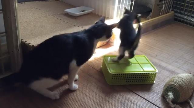 成猫とケースから落とされる子猫
