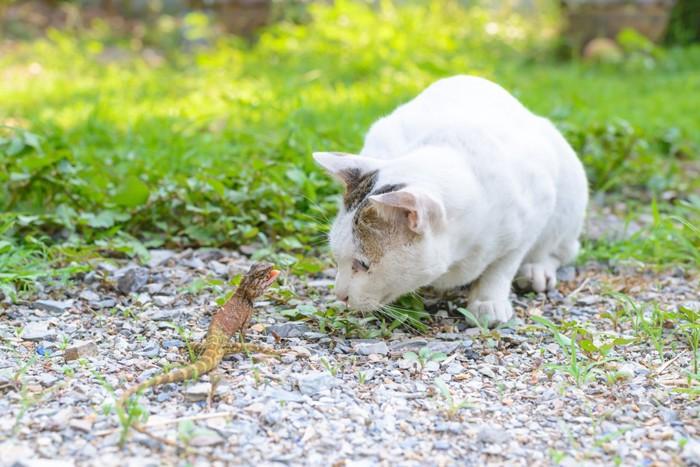 トカゲを食べたい猫