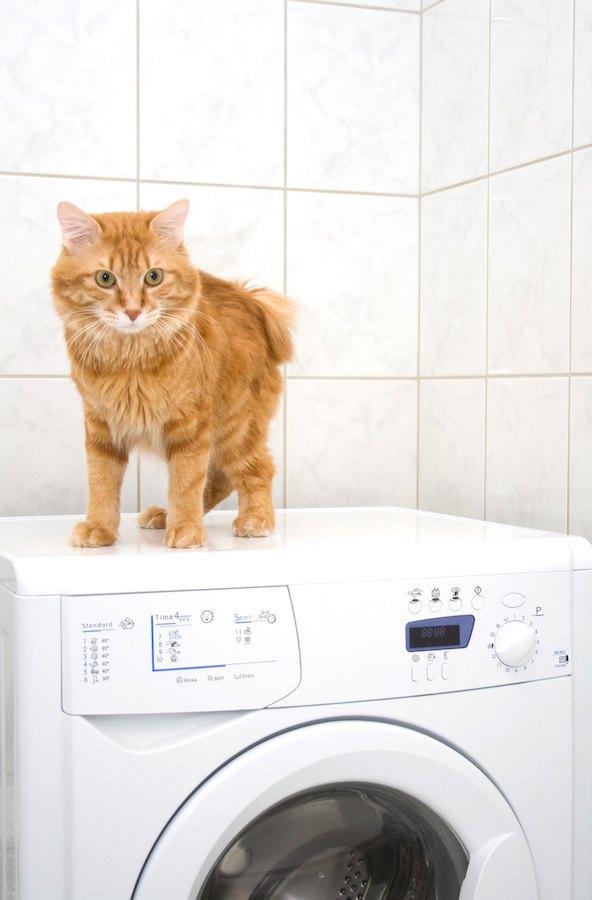 洗濯機の上に立つ猫