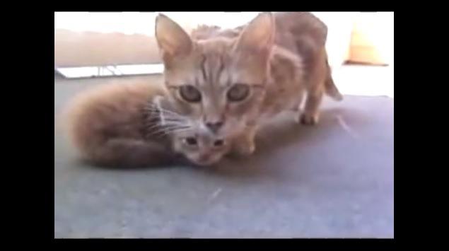 顔の下に子猫を隠す母猫