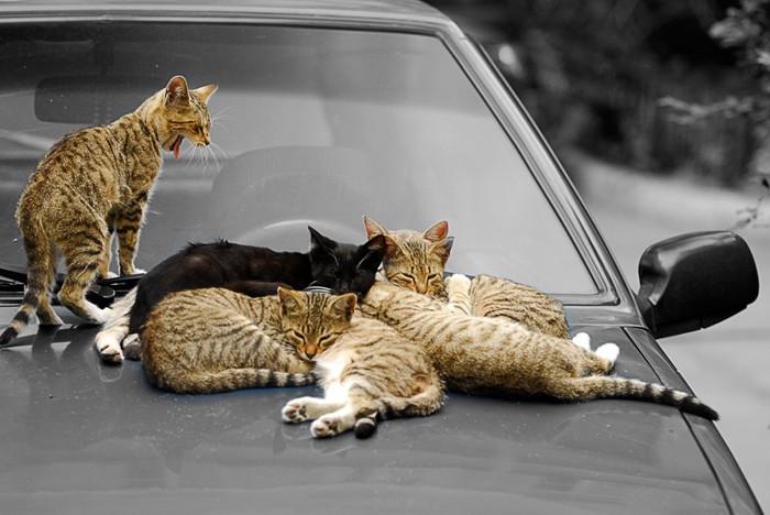 ボンネット上の猫数匹