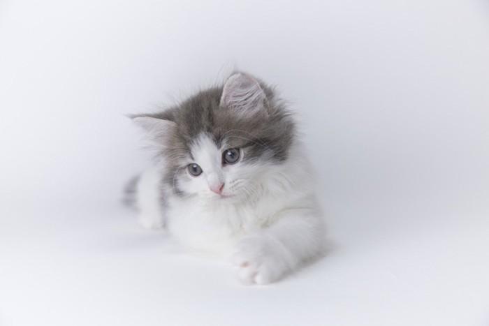 ふんわりした毛の子猫